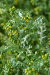 Common Butterweed blossoms & foliage