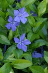 Common Periwinkle blossoms & foliage detail