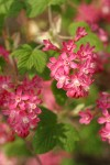 Red-flowering Currant blossoms & foliage
