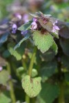 Red Henbit blossoms & foliage detail