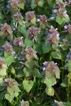 Red Henbit