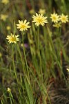 Lindley's Annual Microseris