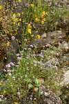 Moist cliff natural rock garden w/ Rosy Plectritis, Common Monkeyflower, Marshall's Saxifrage