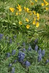 Arrow-leaved Balsamroot w/ Pacific Lupines