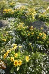 Arrow-leaved Balsamroot w/ Showy Phlox, wide-angle view