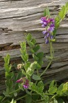 Beach Pea against driftwood log