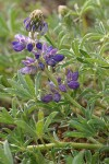 Seashore Lupine blossoms & foliage