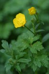 Creeping Buttercup blossom & foliage detail