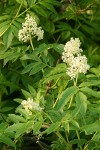Red Elderberry blossoms & foliage