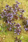 Small-flowered Blue-eyed Mary among moss
