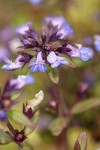 Small-flowered Blue-eyed Mary blossoms detail