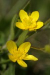 Western Buttercup blossoms detail