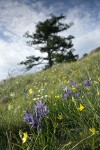Common Camas, Western Buttercups, Field Chickweed in grassy meadow w/ Juniper on skyline soft bkgnd