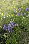 Common Camas, Western Buttercups, Field Chickweed, Meadow Death Camas in grassy meadow
