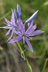 Common Camas blossoms detail