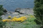 Seep-spring Monkeyflowers w/ Sea Blush & Meadow Death Camas at edge of rocks along Burrows Pass