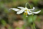 Oregon Fawn Lily blossom detail