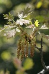 California Black Oak catkins & new foliage