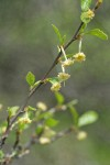 BIrchleaf Mountain Mahogany blossoms & foliage