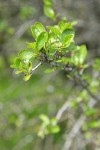 BIrchleaf Mountain Mahogany new foliage detail