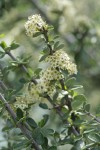 Buckbrush blossoms & foliage