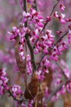 California Redbud blossoms