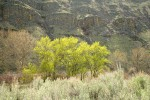 Black Cottonwoods leafing out along Yakima River w/ Big Sagebrush soft fgnd