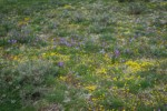 Grass Widows, Spring Whitlow-grass, Gold Stars, Giant-seed Lomatium
