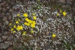 Gold Stars among Spring Whitlow-grass