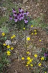 Sagebrush Violets, Grass Widows, Spring Whitlow-grass, Gold Stars, Giant-seed Lomatium