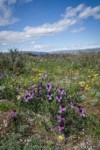 Sagebrush Violets, Grass Widows, Spring Whitlow-grass, Gold Stars, Giant-seed Lomatium under spring clouds