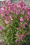 Red Willow-herb