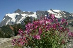 Red Willow-herb w/ Mt. Shuksan bkgnd