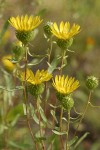 Low Gumweed blossoms