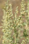 Common Wormwood blossoms & foliage