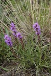 Dotted Gayfeather (Dotted Blazing Star)