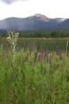 New Mexico Vervain (MacDougal Verbena) & Pale Thistle on Wilson Mesa w/ Baldy Mtn. bkgnd under storm clouds