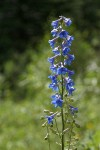 Rocky Mountain Larkspur blossoms
