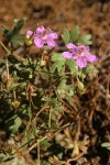 Purple Geraniums (Pineywoods Geraniums)