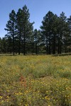 Ponderosa Pines around meadow of Hairy False Goldenaster, Scarlet Gilia