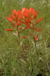 Foothills Paintbrush (Wholeleaf Paintbrush)