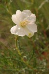 Prairie Evening Primrose (Whitest Evening Primrose) blossom & foliage
