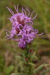 Dotted Blazing Star (Dotted Gayfeather) blossoms detail