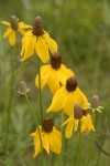 Prairie Coneflower (Mexican Hat) blossoms detail