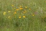 Prairie Coneflower (Mexican Hat), Rough Wallflower among Blue Gramma grass