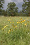 Prairie Coneflower (Mexican Hat), Rough Wallflower among Blue Gramma grass w/ Ponderosa Pines & dark storm clouds bkgnd
