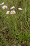Beautiful Fleabane (Most Beautiful Daisy)
