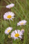 Beautiful Fleabane (Most Beautiful Daisy) blossoms detail