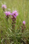 Dotted Blazing Star (Dotted Gayfeather)