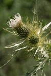 Yellowspine Thistle blossom